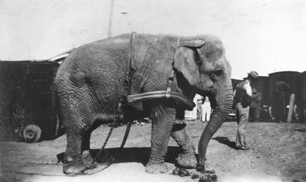 StateLibQld_1_97260_Harnessed_elephant_at_the_Wirth's_Circus_in_Winton,_1930